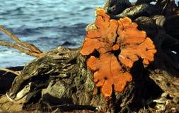 Correspondencia del Burl de la isla de Hawaii Imagen de archivo libre de regalías