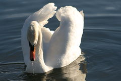 Corrib. Beautiful White Swan in Lough Corrib Galway Stock Image