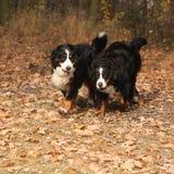 Corrida bonita dos cães de montanha bernese Imagem de Stock