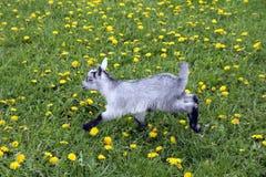 A corrida da crian?a da cabra em um prado foto de stock