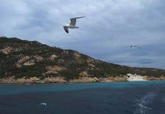 Corrida das gaivota Imagem de Stock Royalty Free