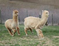 Corrida de duas alpacas Foto de Stock