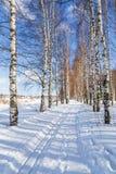 Corrida de esqui em fugas de um esqui do corta-mato da floresta do vidoeiro do inverno imagens de stock