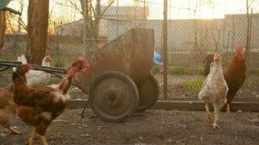 Corrida de galinhas curiosa em torno da jarda vídeos de arquivo