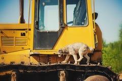 Corrida de salto do cão marrom encaracolado em uma máquina da construção Fotografia de Stock