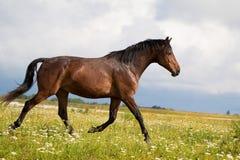Corrida del caballo de bahía Fotografía de archivo