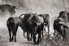 Corrida do búfalo Imagens de Stock Royalty Free