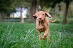 Corrida do cão de cachorrinho de Vizsla fotografia de stock royalty free