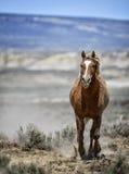 Corrida do cavalo selvagem de bacia de lavagem da areia Foto de Stock