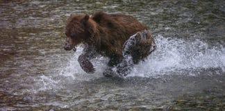 Corrida do urso Fotografia de Stock