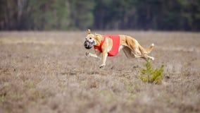 Corrida dos cães do borzaya de Hortaya Percurso, paixão e velocidade Foto de Stock