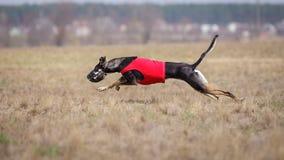 Corrida dos cães do borzaya de Hortaya Percurso, paixão e velocidade Foto de Stock Royalty Free