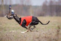 Corrida dos cães do borzaya de Hortaya Percurso, paixão e velocidade Fotos de Stock Royalty Free