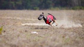 Corrida dos cães do borzaya de Hortaya Percurso, paixão e velocidade Imagens de Stock Royalty Free