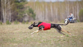 Corrida dos cães do borzaya de Hortaya Percurso, paixão e velocidade Imagens de Stock