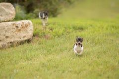 Corrida dos cachorrinhos Imagens de Stock Royalty Free
