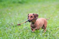 Corrida e salto do cão do bassê Fotografia de Stock Royalty Free