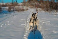 Corrida no trenó da neve dos cães de puxar trenós Siberian de seis cães no treinamento Imagem de Stock