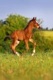 Corrida pequena do cavalo do potro fotografia de stock