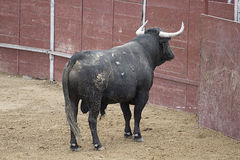 Corrida. Photo de combat de taureau d'Espagne. Taureau noir Images libres de droits