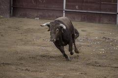 Corrida. Photo de combat de taureau d'Espagne. Taureau noir Images stock