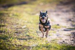 Corrida preta pequena do cachorrinho Imagens de Stock