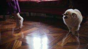 Corridas bonitos e jogos do cão de Pomeranian em casa, nos pés da senhora, fim acima filme