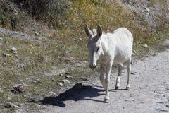 Corridas brancas do asno ao longo da estrada Foto de Stock Royalty Free