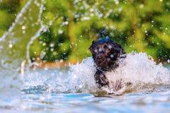 Corridas de Labrador através da água Fotografia de Stock