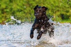 Corridas de Labrador através da água Imagem de Stock