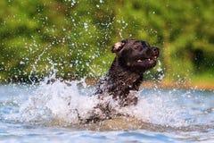 Corridas de Labrador através da água Imagem de Stock Royalty Free