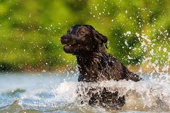 Corridas de Labrador através da água Fotos de Stock