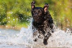 Corridas de Labrador através da água Imagens de Stock Royalty Free