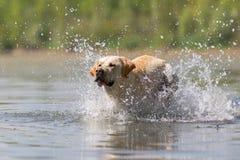 Corridas de Labrador em um lago Fotos de Stock Royalty Free
