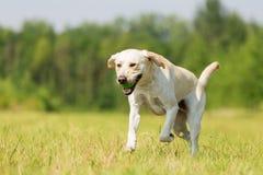 Corridas de Labrador no prado Foto de Stock Royalty Free