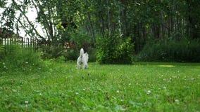 Corridas de Terrier branco de montanhas ocidentais da raça do cão pequeno no gramado em um parque vídeos de arquivo