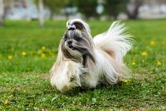 Corridas decorativas do cão de Shih Tzu Imagens de Stock