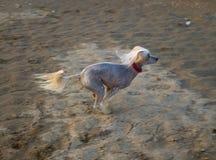 Corridas del perro en la arena foto de archivo libre de regalías