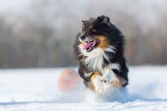 Corridas del perro en la nieve Foto de archivo