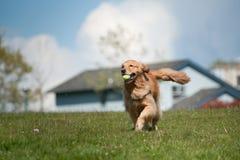 Corridas del perro perdiguero de oro con la pelota de tenis Imagen de archivo