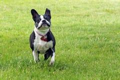 Corridas del terrier de Boston Imagenes de archivo