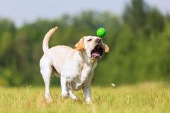 Corridas do cão de Labrador para uma bola Fotos de Stock