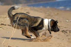 Corridas do cão na praia Imagem de Stock Royalty Free