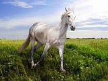 Corridas do cavalo branco no prado Imagem de Stock