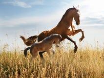 Corridas do cavalo branco no prado Imagens de Stock