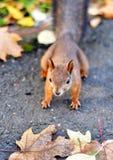 Corridas do esquilo ao redor nas folhas imagens de stock