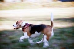Corridas do lebreiro do cão na natureza Fotos de Stock