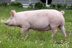 Corridas do porco da porca através do prado do pasto do verão imagem de stock royalty free
