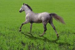 Corridas do trotador de Orlov do cavalo da raça na grama Imagens de Stock