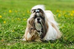 Corridas do verão do tzu de Shi da raça do cão Foto de Stock